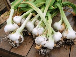 elephant-garlic-july-2010-2