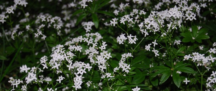 Sweet woodruff - we planted it underneath our swing to have it handy for the May punch season. In addition it looks pretty and loves the shade.