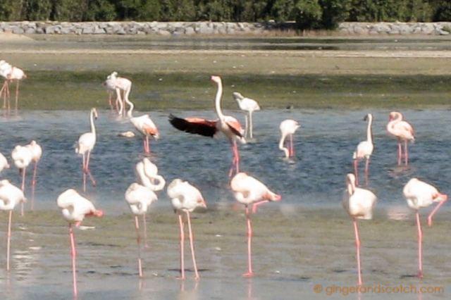 Flamingos at Ras Al Khor Wildlife Santuary