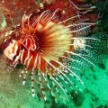 lionfish in musandam
