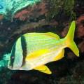 Porkfish in Roatan, Honduras