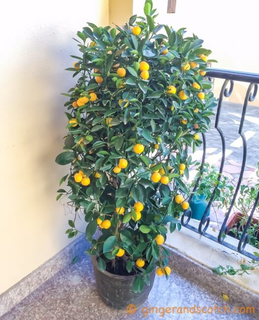 Orange Tree - newly bought
