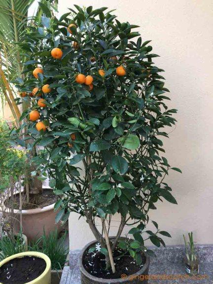 Mandarin Orange Plant