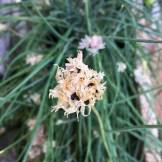 Onion Chives - Seeds on flowerheads
