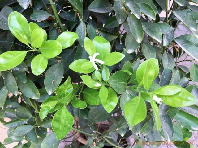 Mandarin Orange Plant - new leaf growth