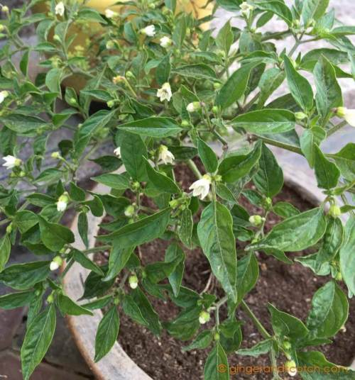 "Chili Pepper ""Numex Twilight"""