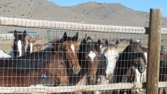 Wild Horses at the Palomino Valley Adoption Center, NV
