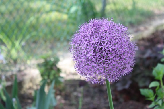 Allium - one of two planted from bulb last year