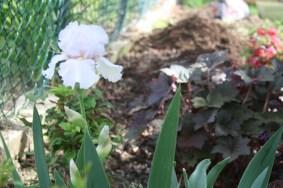 Bearded Iris - planted from bulb last fall