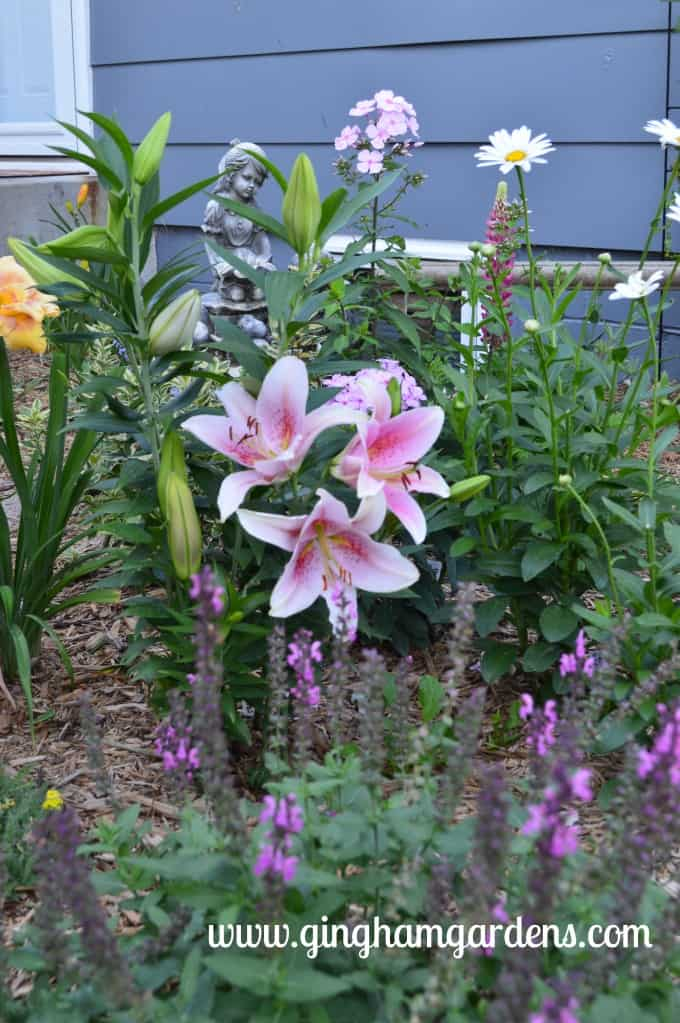Oriental Lilies at Gingham Gardens