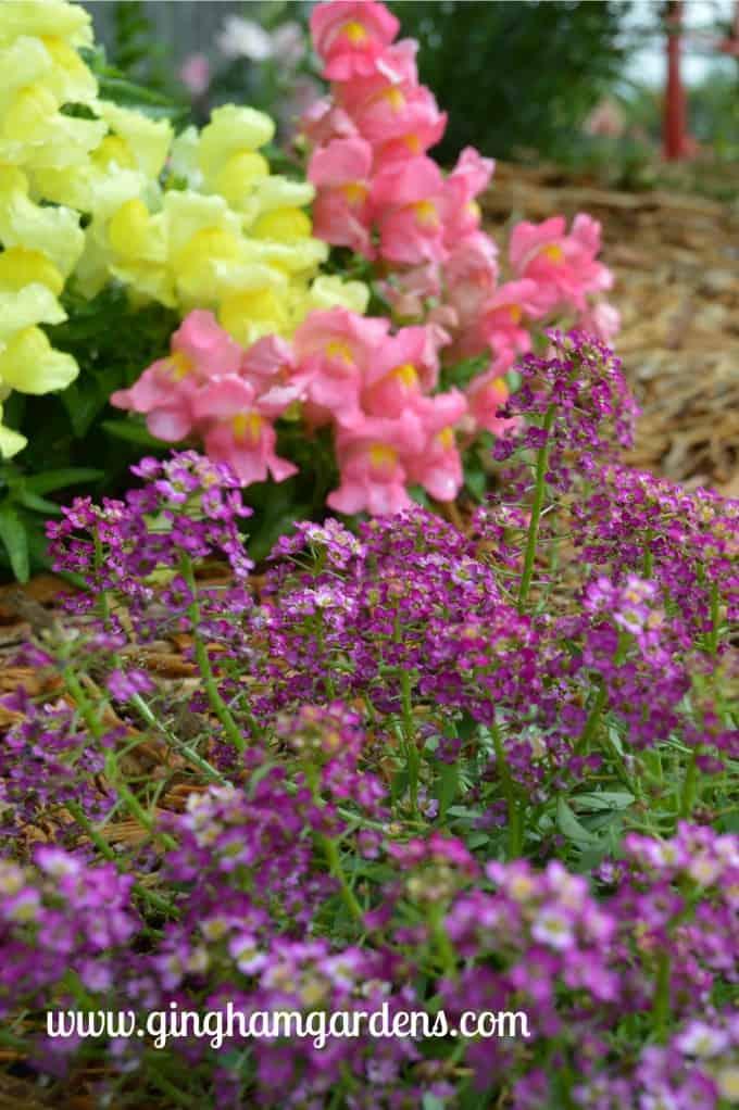Gardening Recap - Montego Snapdragons and Alyssum at Gingham Gardens
