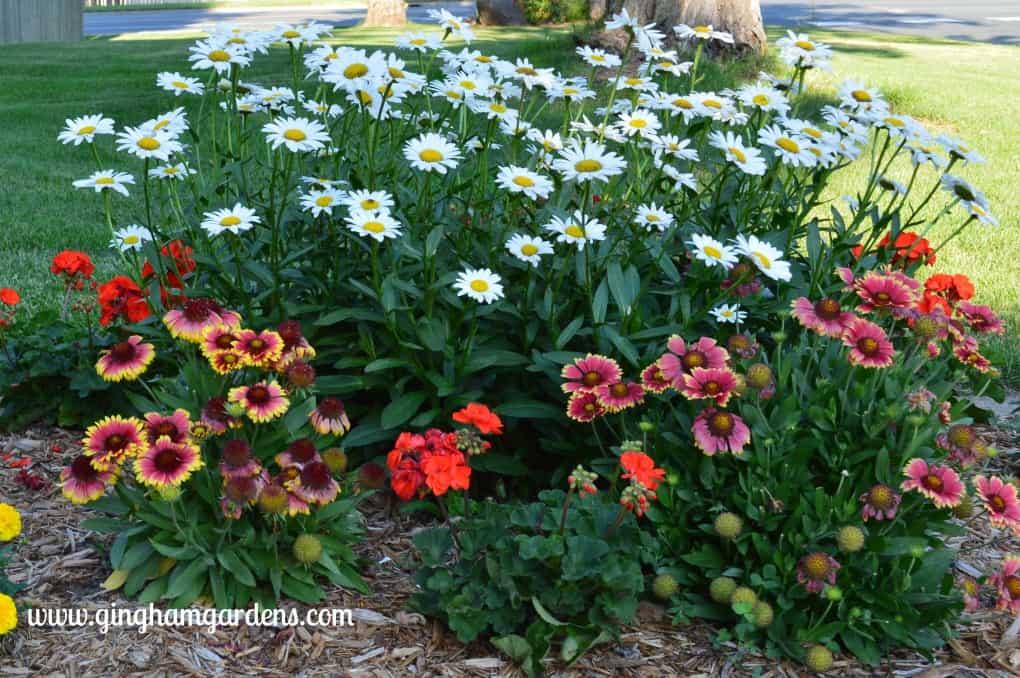 Gardening Recap - Shasta Daisies and Gaillardia