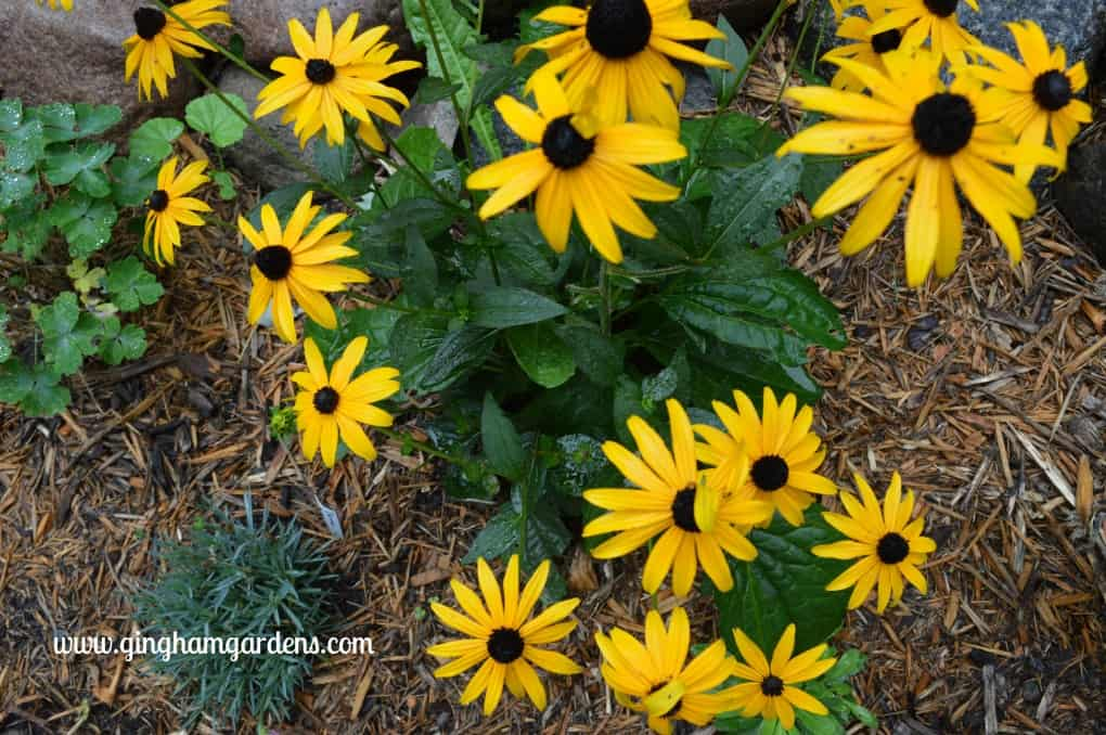 Garden Tour - Black-eyed Susan