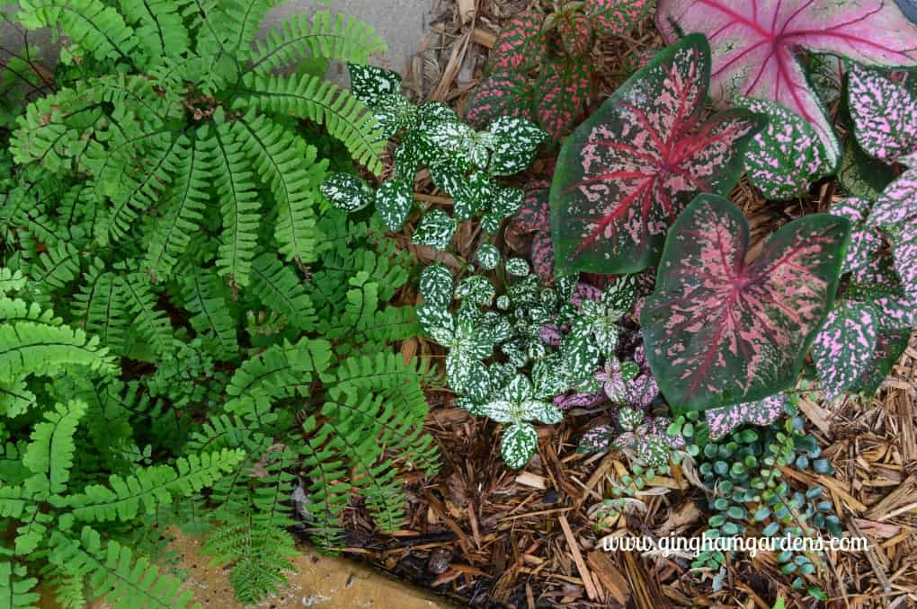 Garden Tour - Maidenhair Fern, Hypoestes and Caladium