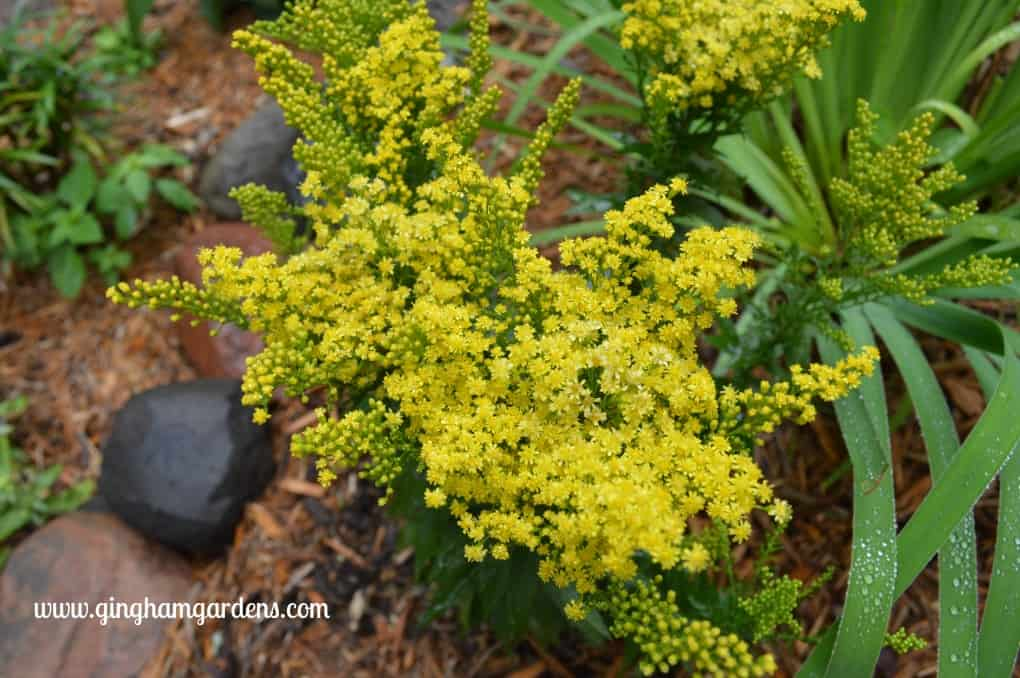 Garden Tour - Solidago (Goldenrod)