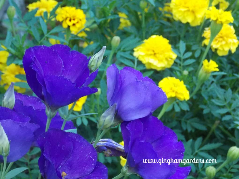 Lisianthus & Marigolds at Gingham Gardens