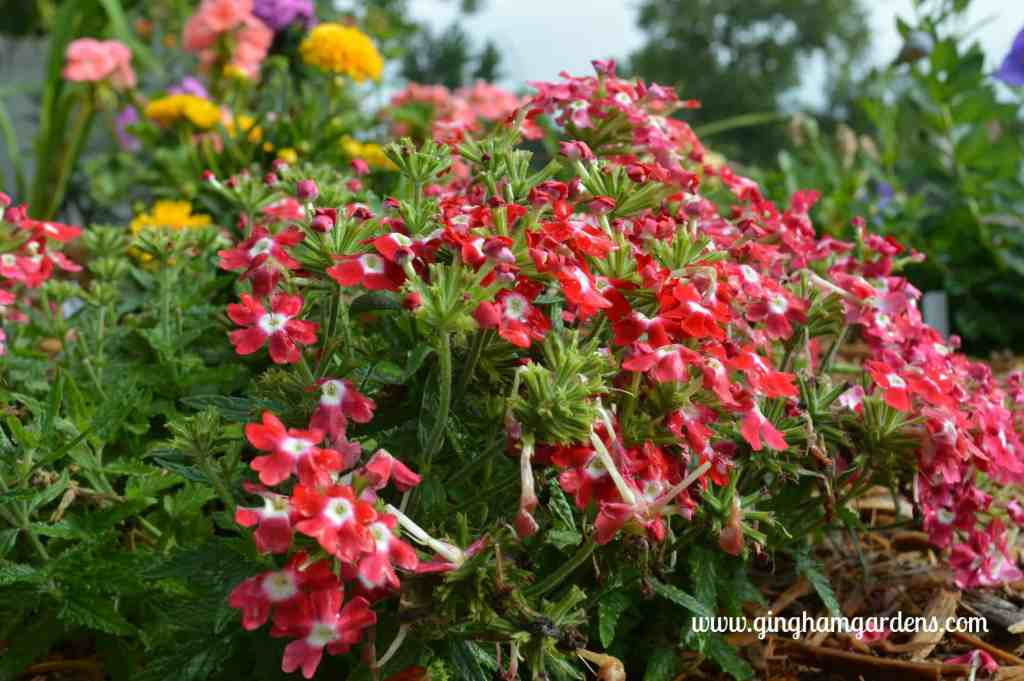 Verbena at Gingham Gardens