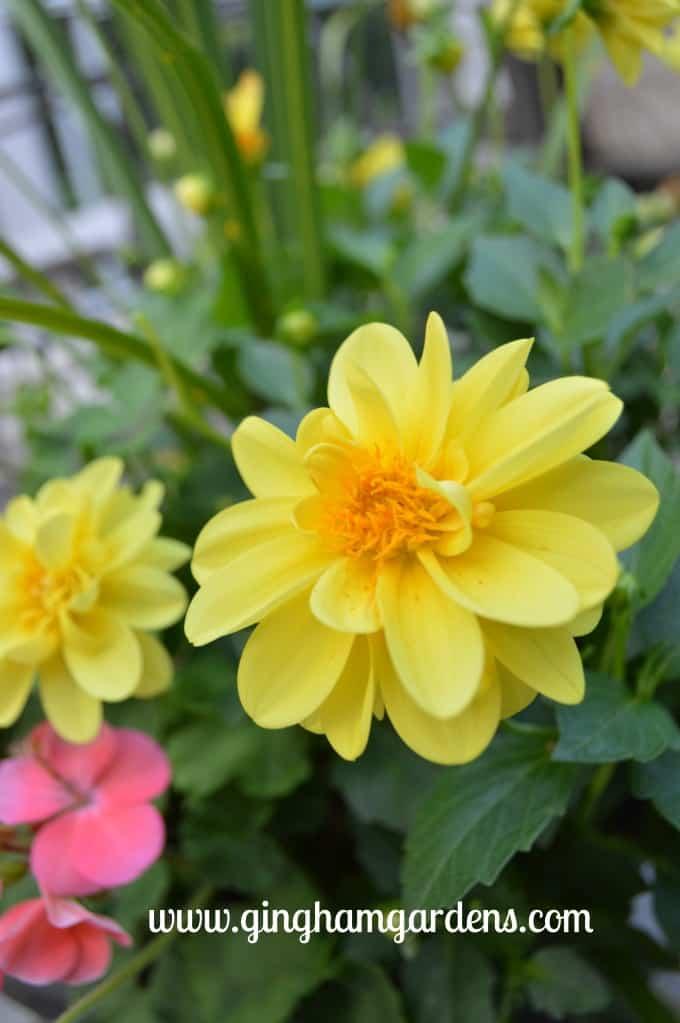 Bright yellow dahlias at Gingham Gardens Garden Tour