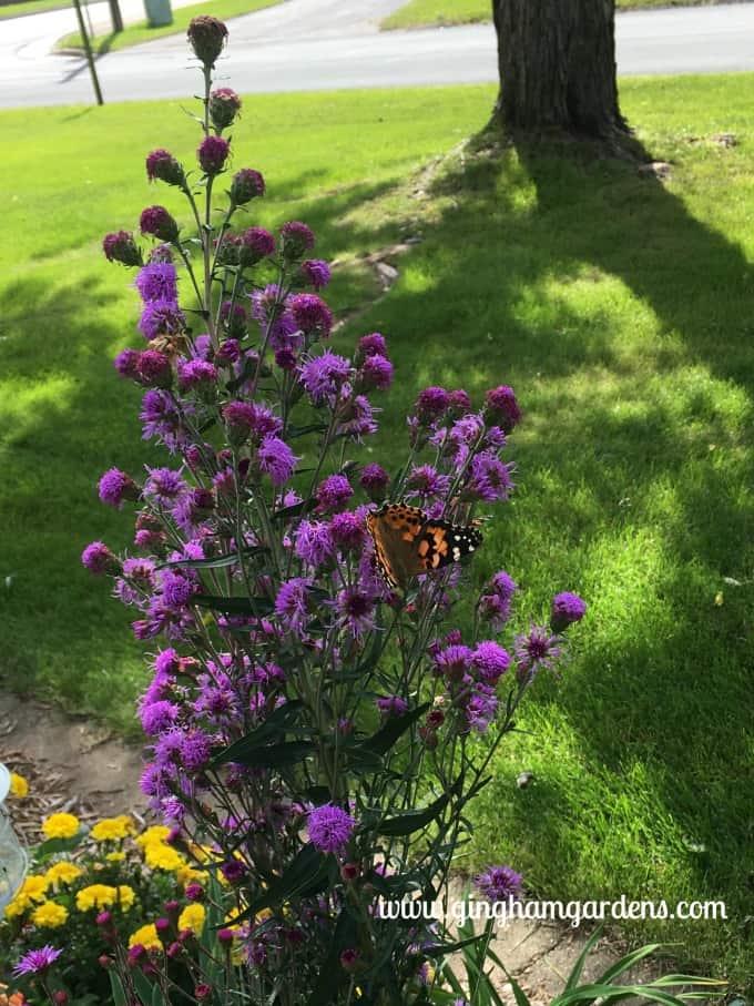 Painted Lady Butterfly on Meadow Blazingstar Liatris - Garden Tour