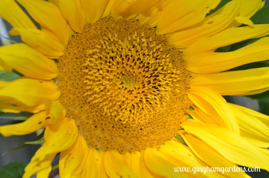 Sunflowers at Gingham Gardens