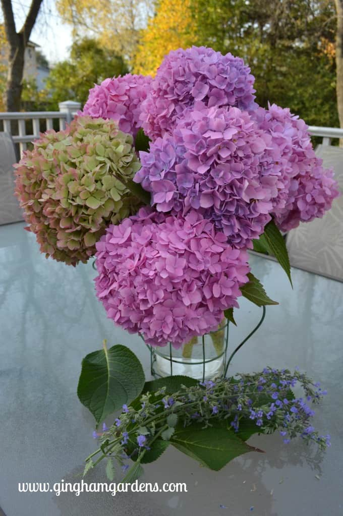 Goodbye Hydrangeas - Endless Summer Hydrangeas
