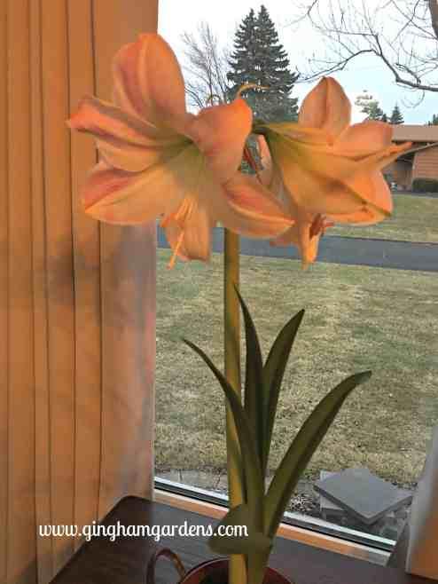 Amaryllis - the perfect winter flower.