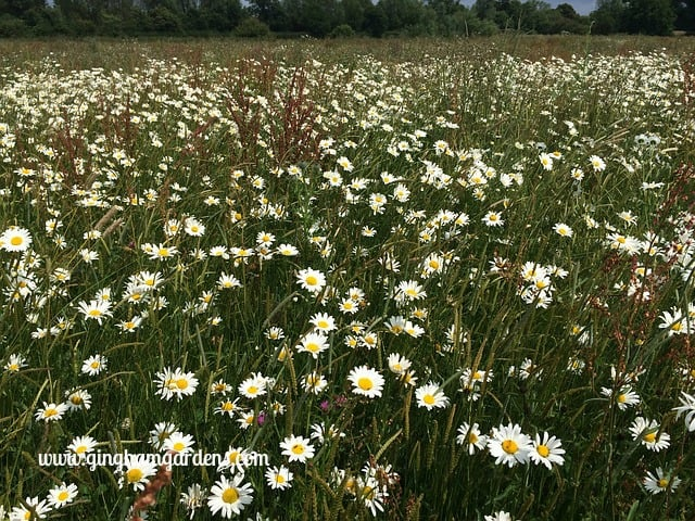 Ox-eye Daisies - Plants You Don't Want In Your Gardens