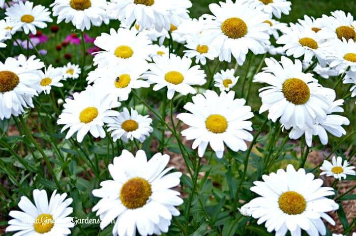 Shasta Daisies - How to Grow a Cutting Garden