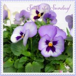 Sunday pansies