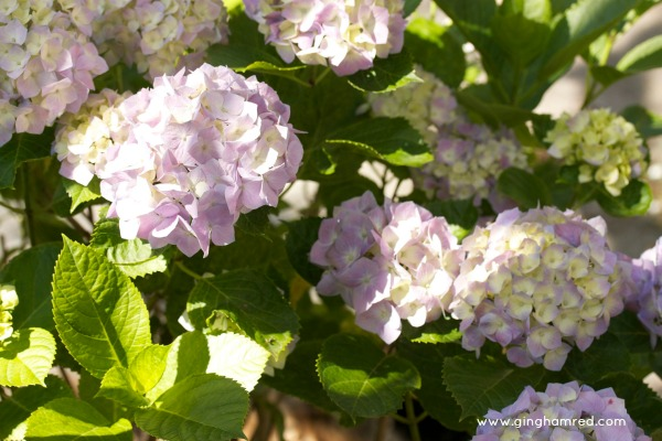 early morning hydrangea