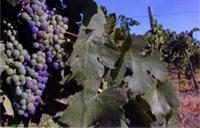 livermore_grapes