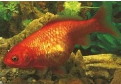 bloat or dropsy koi fish diseases identify treat (koi fish disease)
