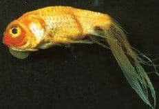 fin rot koi fish diseases identify treat (koi fish disease)