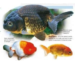 types of goldfish ranchu goldfish