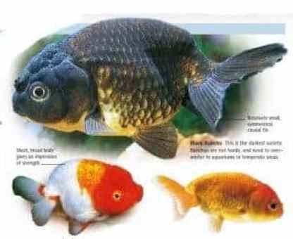 types of goldfish ranchu goldfish