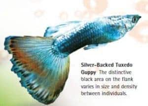 types of guppies silver backed tuxedo guppy
