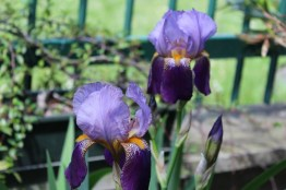 Iris-aprile 2017 (3)