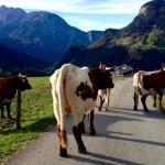 Kühe blockieren den Weg © Gipfelfieber.com