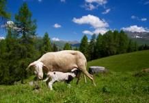Glückliche Schafe ©Gipfelfieber