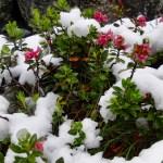 Alpenrose unterm Schnee ©Gipfelfieber