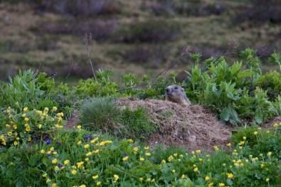 Murmeltier unweit vom Grüensee ©Gipfelfieber