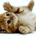 ネコちゃんもこれは嬉しい♪快適で楽しい猫グッズ特集『マンチカン編』