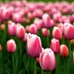 春到来!この季節にこそ贈りたい花 チューリップはいかが♡