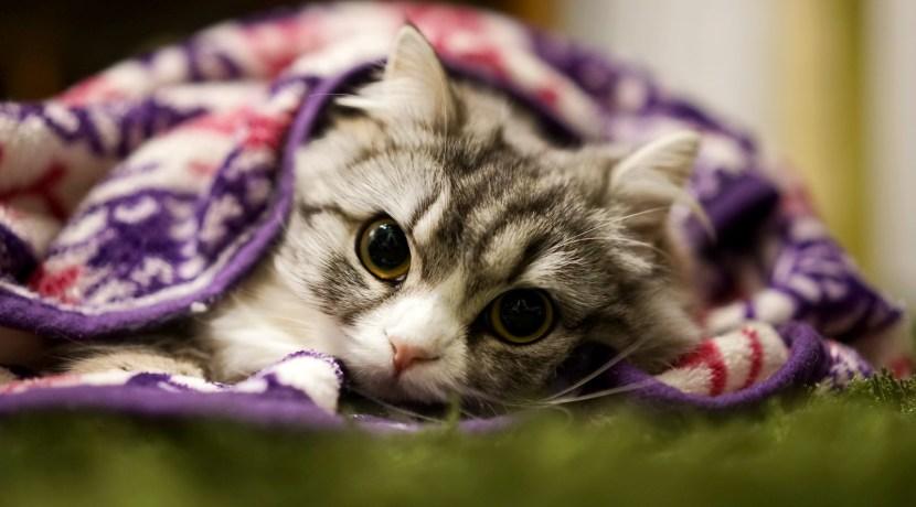 猫が好きな人へのプレゼント スコティシュ
