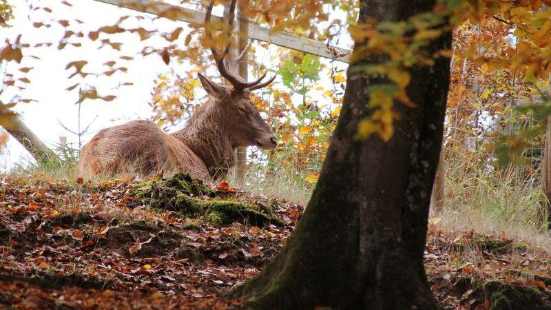 Elch, Rentier oder Hirsch? Was ist der Unterschied zwischen den Tieren?