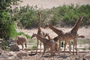 Drinking giraffe NW Namibia_small