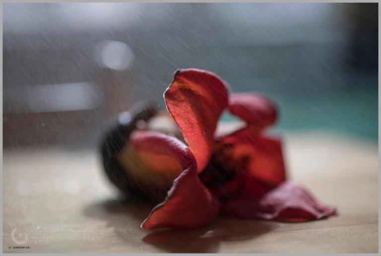 cotton flower_CD21700