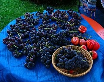 Giresun'da yetişen Isabella üzümünü tattınız mı?