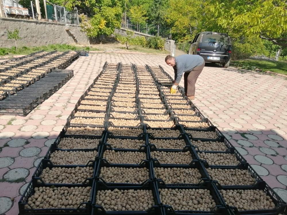 Şebinkarahisar'da ceviz hasadı 20 günlük gecikmeyle başladı