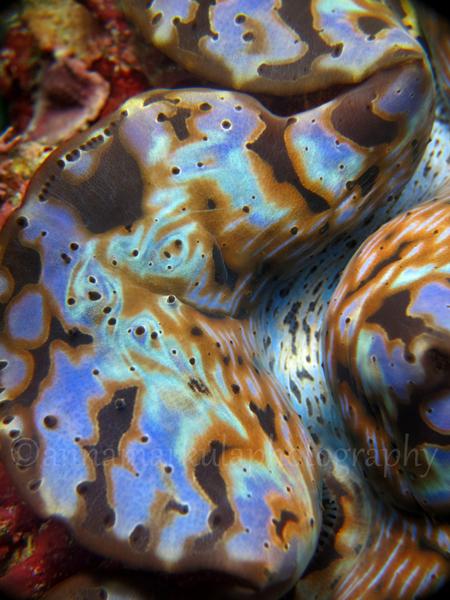 cool_clam_upclose3